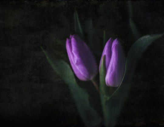 Fine art flower photography, tulip photo on dark background