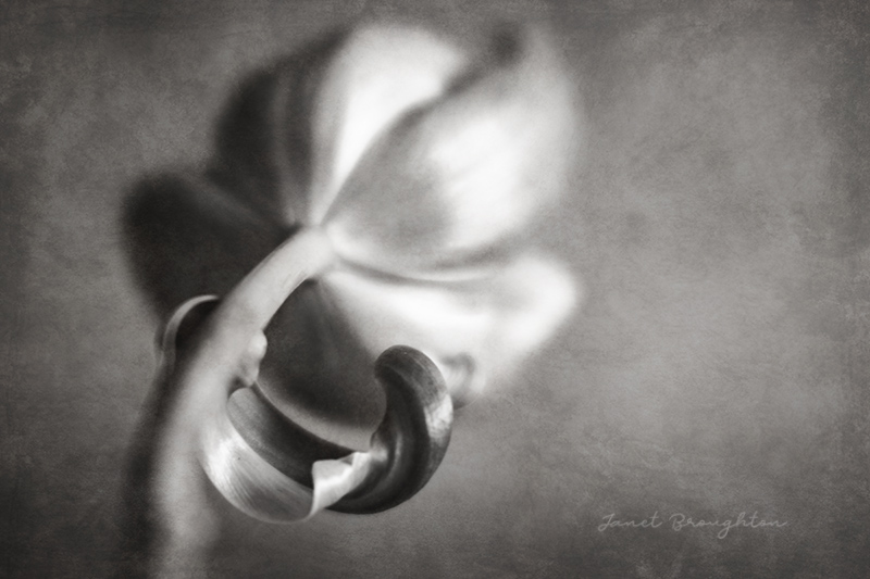 Black and white flower photography, Lensbaby Velvet 56