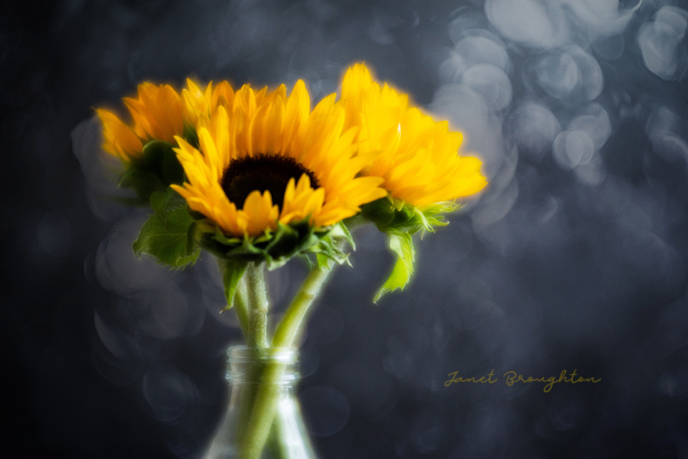 Sunflowers with Lensbaby Velvet 85 and bokeh overlay