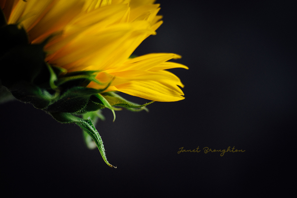 Sunflower close up with Lensbaby Velvet 85